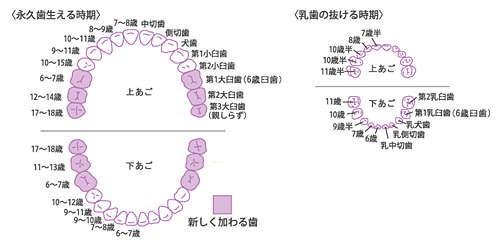 永久歯の生える時期、乳歯の抜ける時期